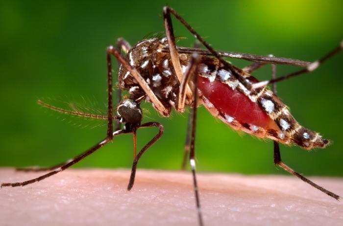 Figure 1. Female Aedes aegypti mosquito