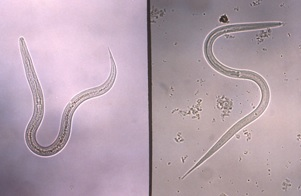 Figure 6. A hookworm (left), and a Strongyloides (right) filariform infective stage larvae